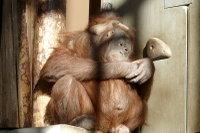 Orangutan13