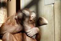 Orangutan14