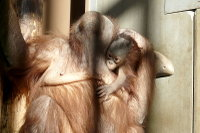 Orangutan15