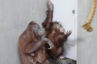 Orangutan16