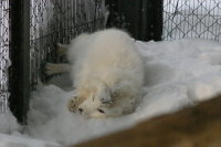 Arctic_fox26
