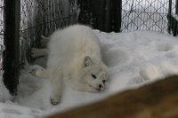 Arctic_fox27