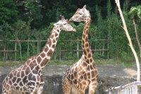Giraffe09