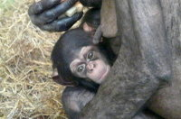 Chimpanzee_baby04