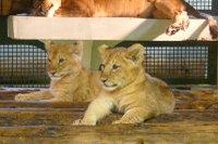 Lion_baby03