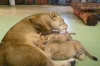 Lion_baby04