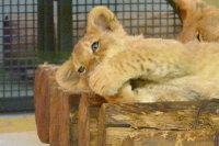 Lion_baby05