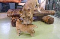 Lion_baby07