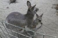 Kangaroo05