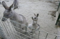 Kangaroo06