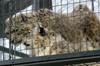 Snowleopard12