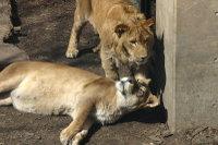 Lions28