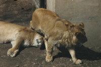 Lions29