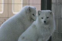 Arctic_fox28
