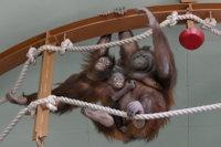 Orangutan18