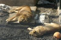 Lions30