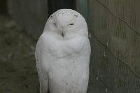 Snowy_owl05