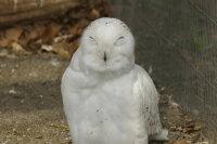 Snowy_owl06