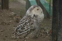 Snowy_owl07