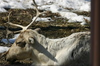 Reindeer03