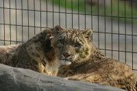 Snowleopard14