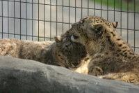Snowleopard15