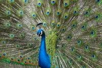 Peacock05