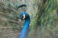 Peacock06