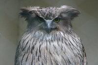 Blakistons_fish_owl06