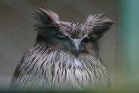 Blakistons_fish_owl07