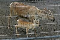 Reindeer05