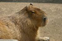 Capybara06