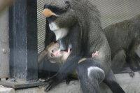 Brazzas_monkey01