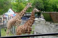 Giraffes01