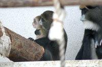 Brazzas_monkey02