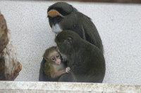 Brazzas_monkey03