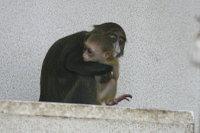 Brazzas_monkey04