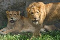 Lions31