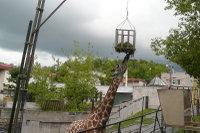 Giraffes03