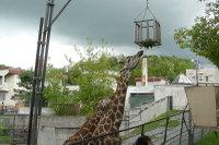 Giraffes04