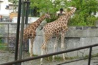 Giraffes05