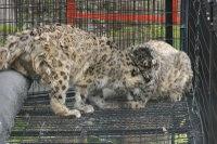Snowleopard18