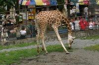 Giraffes06