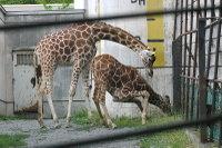 Giraffes07