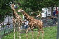 Giraffes08_2