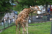 Giraffes09_2