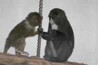 Brazzas_monkey05
