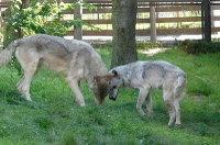 Wolves_m03