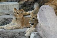 Lions_m01
