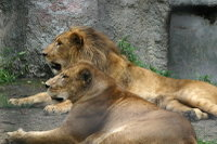 Lions32